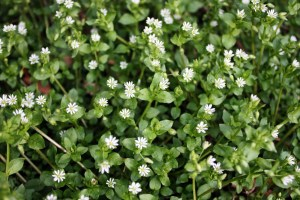 Chickweed Grouping