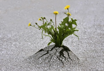 https://fiercerevremedies.files.wordpress.com/2016/06/9978f-resilience-dandelion-through-asphalt.jpg