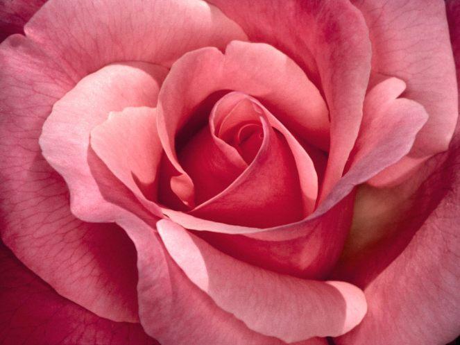 gaudete pink